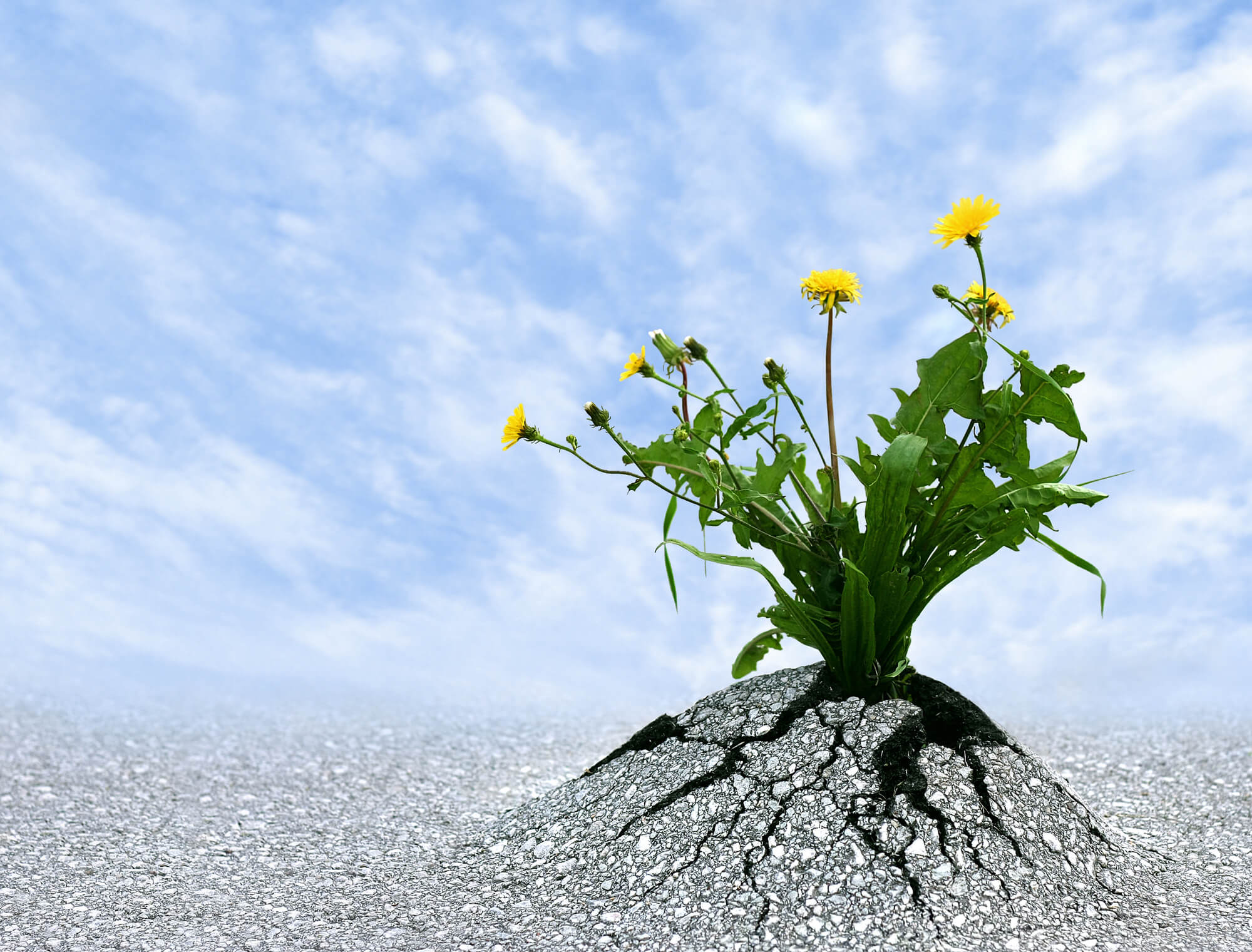 """""""power of life"""" - Yellow flowers growing through concrete"""